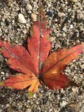 Japanese red maple leaf royalty free stock photo