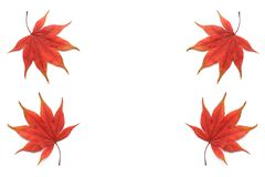 Japanese red maple leaf isolated Stock Photos