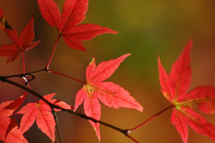 Japanese red maple leaves Royalty Free Stock Photography