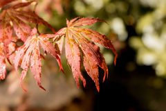 Japanese red maple leaves. Autumn fall season color. Royalty Free Stock Images