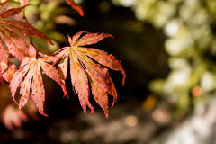 Japanese red maple leaves. Autumn fall season color. Royalty Free Stock Photos