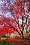 Japanese Red Maple tree Royalty Free Stock Images