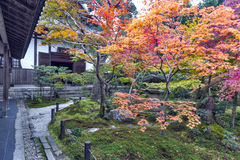 Japanese red maple tree during autumn in garden at Enkoji temple in Kyoto, Japan Royalty Free Stock Image