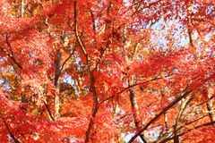 Japanese red maple tree Royalty Free Stock Image