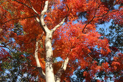Japanese red maple tree Stock Images