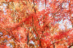Japanese red maple tree Royalty Free Stock Photos