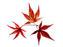 Japanese Red maple tree leaves. Isolated Japanese red leaf maple tree branch. Three leaves together in spring time. North Carolina Stock Images