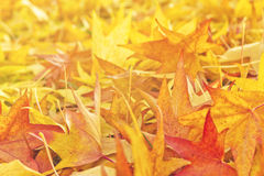 Japanese Red Maple Tree Leaves as Background. Japanese Red Maple Tree Dry Autumn Leaves fallen on the ground as natural seasonal background/ Selective focus with Royalty Free Stock Image