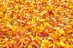 Japanese Red Maple Tree Leaves as Background. Japanese Red Maple Tree Dry Autumn Leaves fallen on the ground as natural seasonal background/ Selective focus with Stock Photos