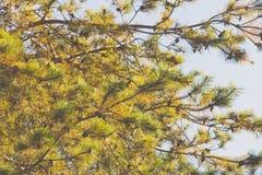 Japanese red pine Royalty Free Stock Photos