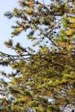 Japanese red pine Stock Image