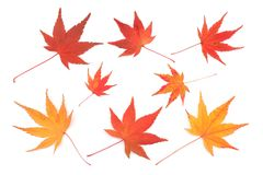 Japanese red and yellow maple leaf isolated Royalty Free Stock Photography