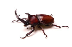 Japanese rhinoceros beetle Royalty Free Stock Photo
