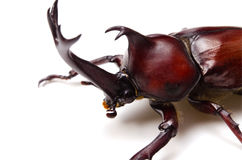 Japanese rhinoceros beetle Royalty Free Stock Images