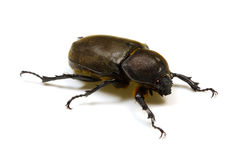 Japanese rhinoceros beetle Royalty Free Stock Image