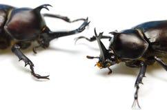 Japanese rhinoceros beetle Stock Images