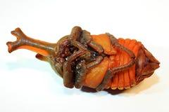 Japanese rhinoceros beetle papua Stock Image