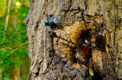 Japanese rhinoceros beetle and stag beetle Royalty Free Stock Photo
