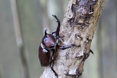 Japanese rhinoceros beetle Stock Image