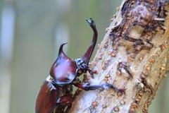 Japanese rhinoceros beetle Royalty Free Stock Photo