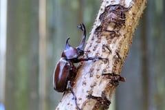 Japanese rhinoceros beetle Royalty Free Stock Photos