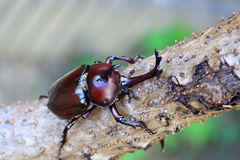 Japanese rhinoceros beetle Royalty Free Stock Images