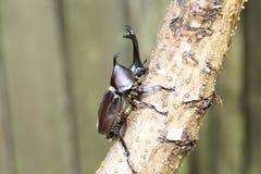 Japanese rhinoceros beetle Royalty Free Stock Image