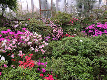 Japanese rhododendron (Rhododendron japonicum). In the garden Stock Photo