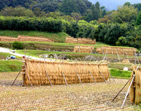 Japanese rice field. Agriculture in Japan Royalty Free Stock Photography