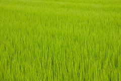 Japanese rice field Stock Photos