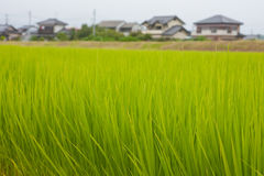 Japanese rice field Stock Image