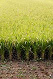 Japanese rice field. Harvesting rice field in a Japanese countryside Stock Images