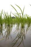 Japanese rice field Royalty Free Stock Photos