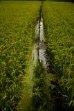 Japanese rice fields Stock Image