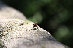 Japanese robber fly royalty free stock images