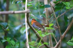 Japanese robin in Japan Royalty Free Stock Image