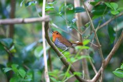 Japanese robin in Japan Stock Images