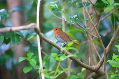 Japanese robin in Japan Royalty Free Stock Photos