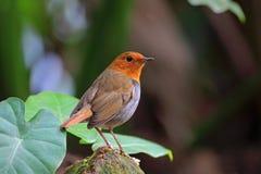 Japanese Robin, Luscinia akahige Stock Photography
