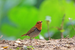 Japanese Robin, Luscinia akahige Stock Image