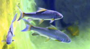 Japanese rock carp fish Stock Image