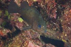 Japanese Rockfish-Sebastes sp. Royalty Free Stock Photos