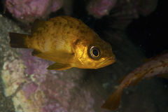 Japanese Rockfish-Sebastes sp. Stock Images