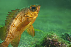Japanese Rockfish-Sebastes sp. Stock Photos
