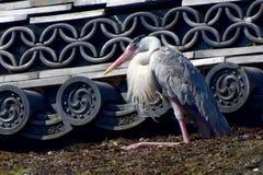 Japanese rooftop heron. Royalty Free Stock Photo