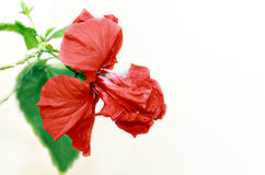 Japanese rose Royalty Free Stock Images
