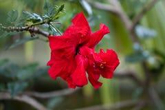 Japanese rose Stock Photo