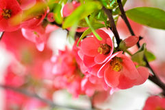 Japanese Rose Royalty Free Stock Photos