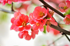 Japanese Rose. Detail of a Japanese Rose Royalty Free Stock Image