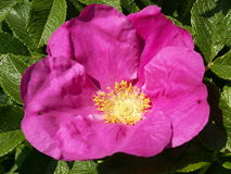 Japanese rose ( Rosa rugosa ). Also called Japanese rose is a rose wrinkled . The photo shows the flower in all its glory Stock Photo